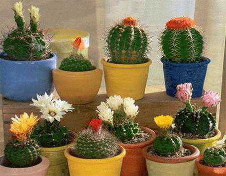 Кактус в доме: приметы, приносит кактус в дом