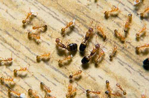 Чтобы наиболее удачно бороться с муравьями, лучше всего сочетать одновременно несколько способов