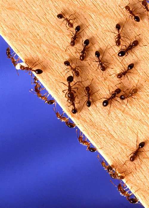 Как избавиться от рыжих муравьев в квартире, что