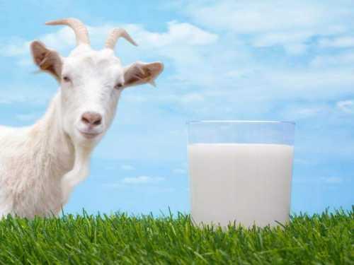 Козье молоко для грудничков: можно или нет,