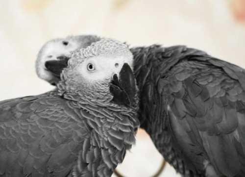 Как определить пол попугая корелла, неразлучника, волнистого, жако