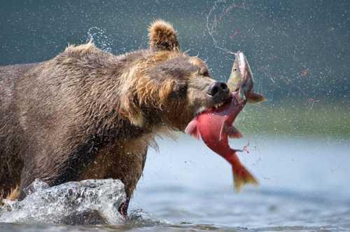 К чему снится медведь женщине, убегать от