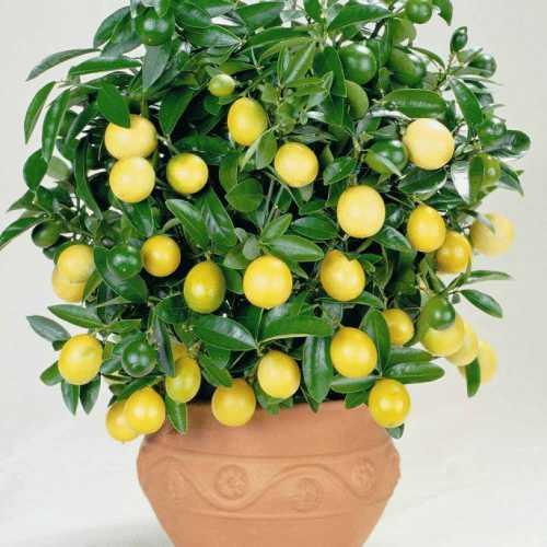 Как вырастить лимон в домашних условиях